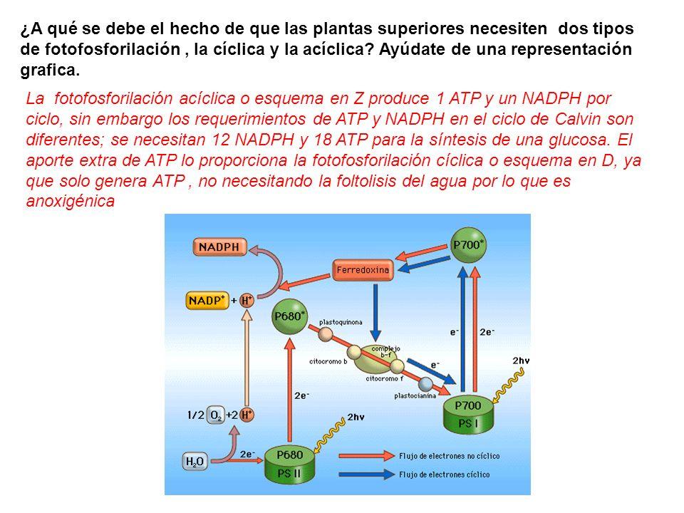 En la fotofosforilacion ciclica se sintetiza 22