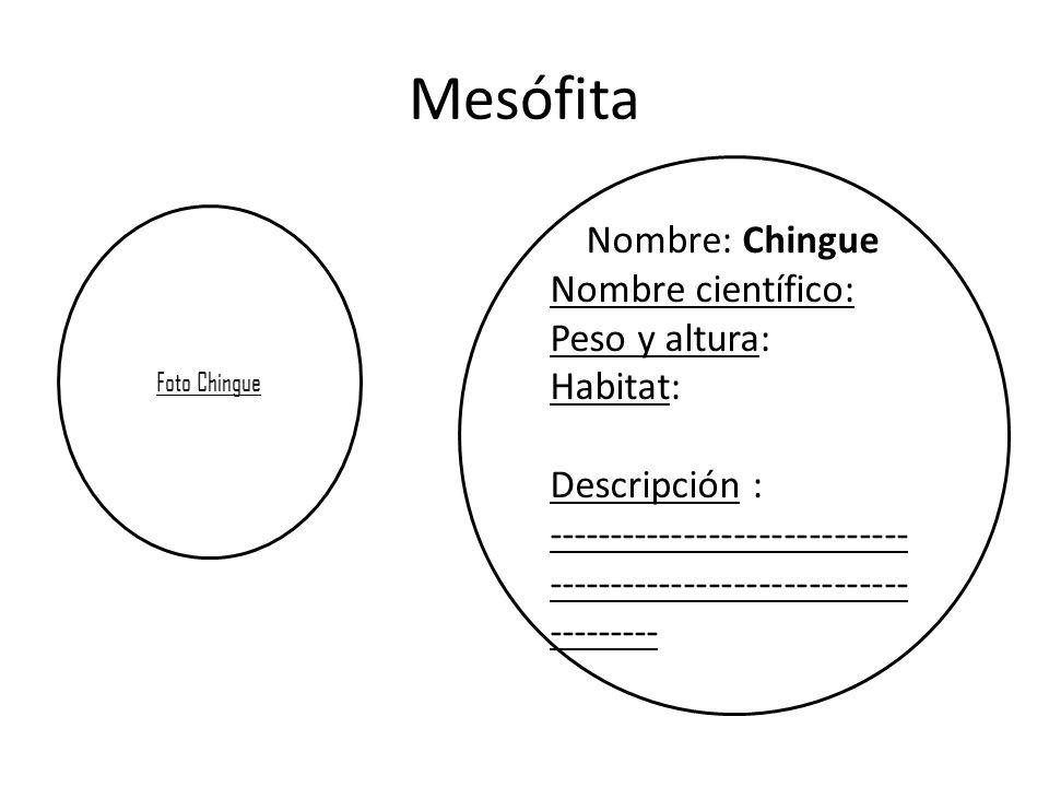 Mesófita Nombre: Chingue Nombre científico: Peso y altura: Habitat: