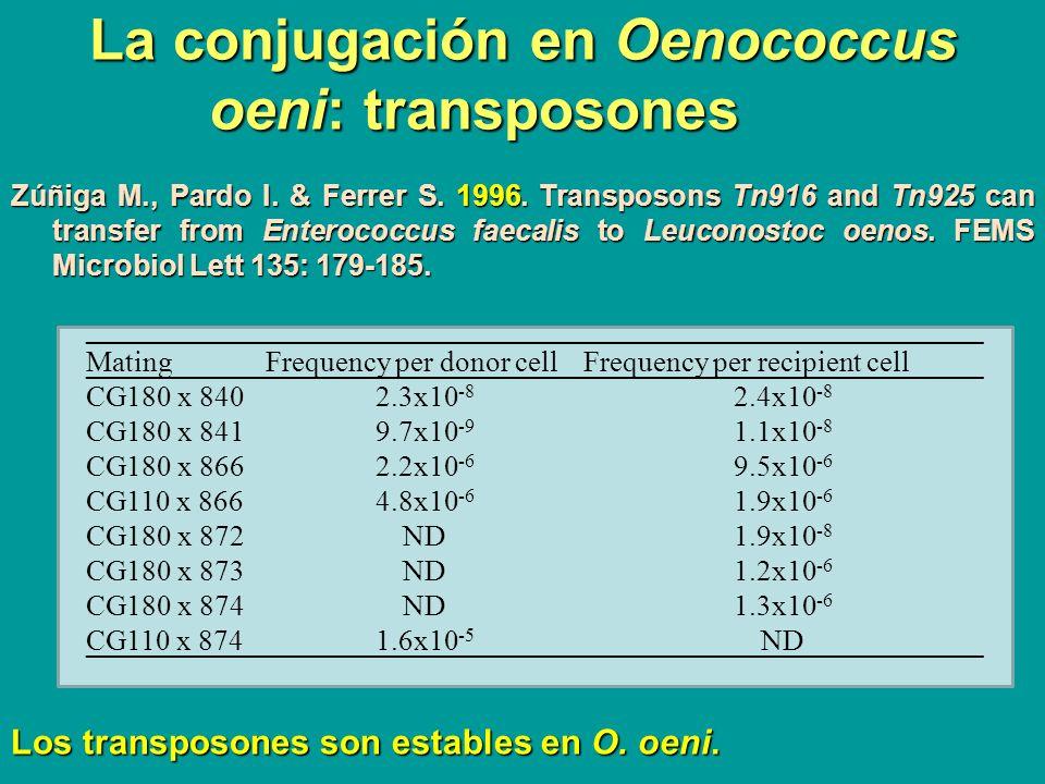 La conjugación en Oenococcus oeni: transposones