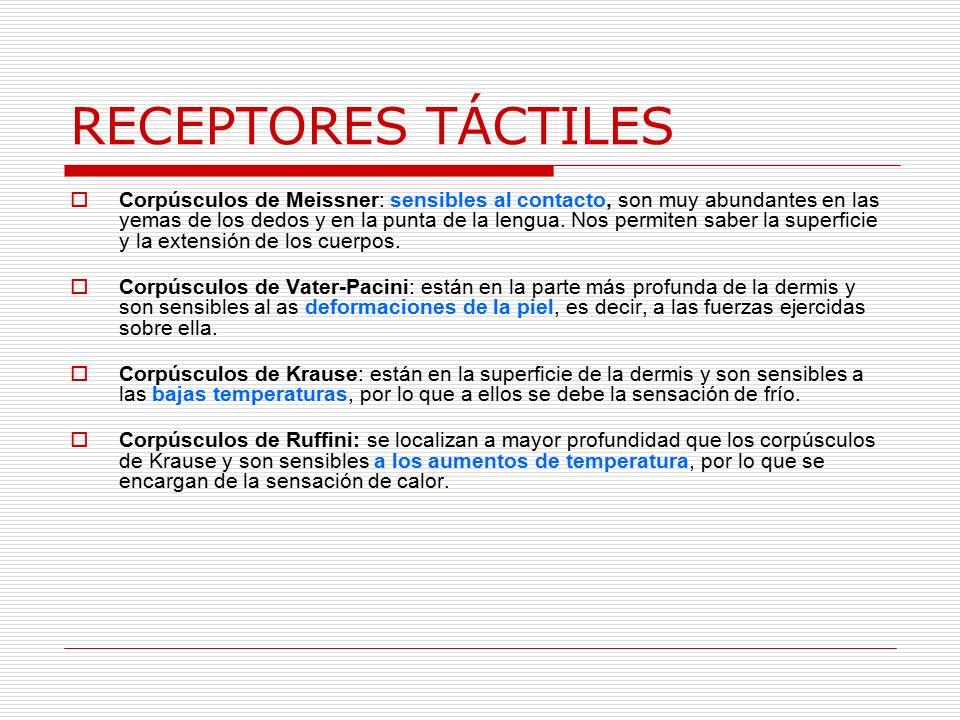 RECEPTORES TÁCTILES