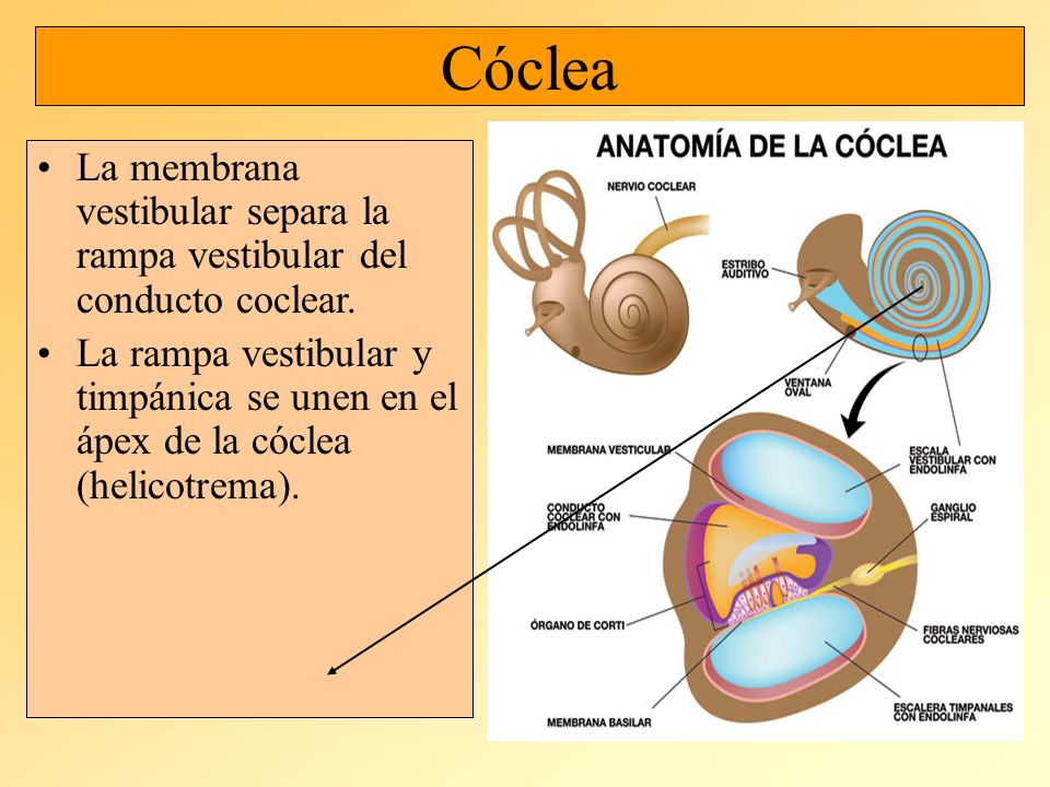 Atractivo Cóclea Friso - Anatomía de Las Imágenesdel Cuerpo Humano ...