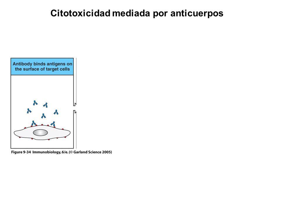 Citotoxicidad mediada por anticuerpos