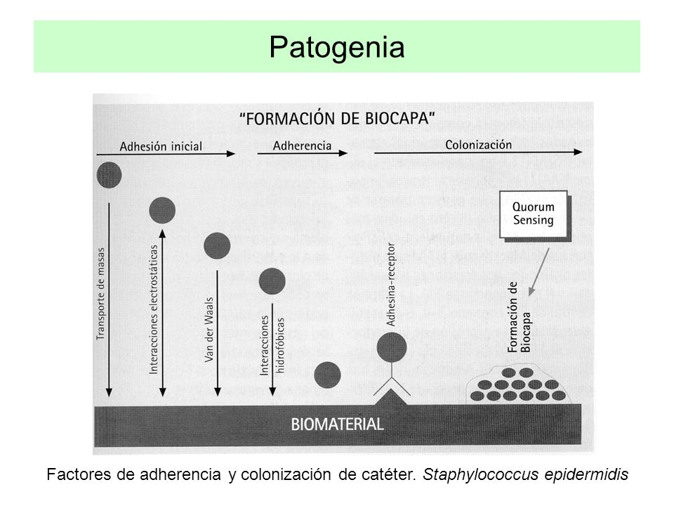Patogenia Factores de adherencia y colonización de catéter. Staphylococcus epidermidis