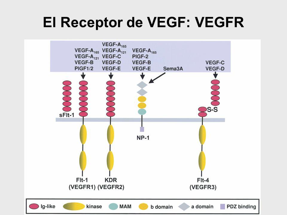 El Receptor de VEGF: VEGFR
