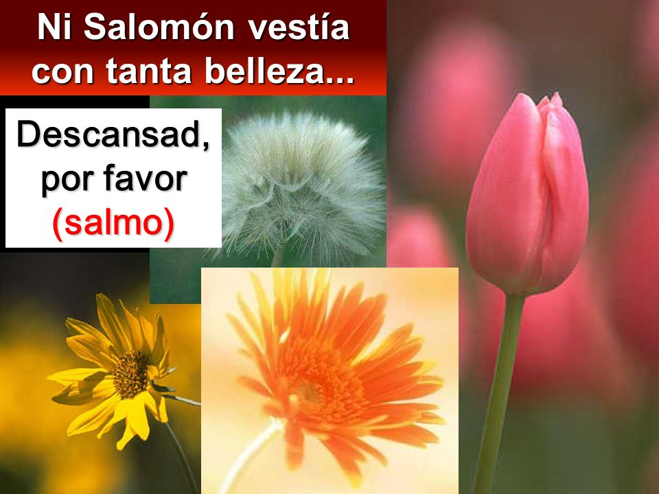 Ni Salomón vestía con tanta belleza... Descansad, por favor (salmo)
