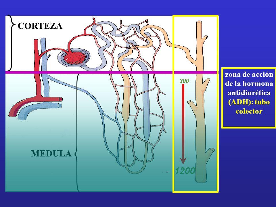 zona de acción de la hormona antidiurética (ADH): tubo colector