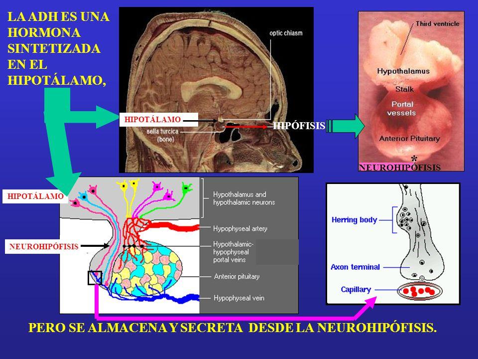 * LA ADH ES UNA HORMONA SINTETIZADA EN EL HIPOTÁLAMO,