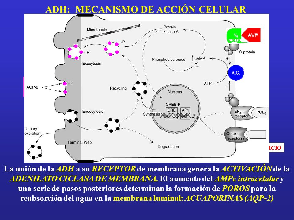 ADH: MECANISMO DE ACCIÓN CELULAR