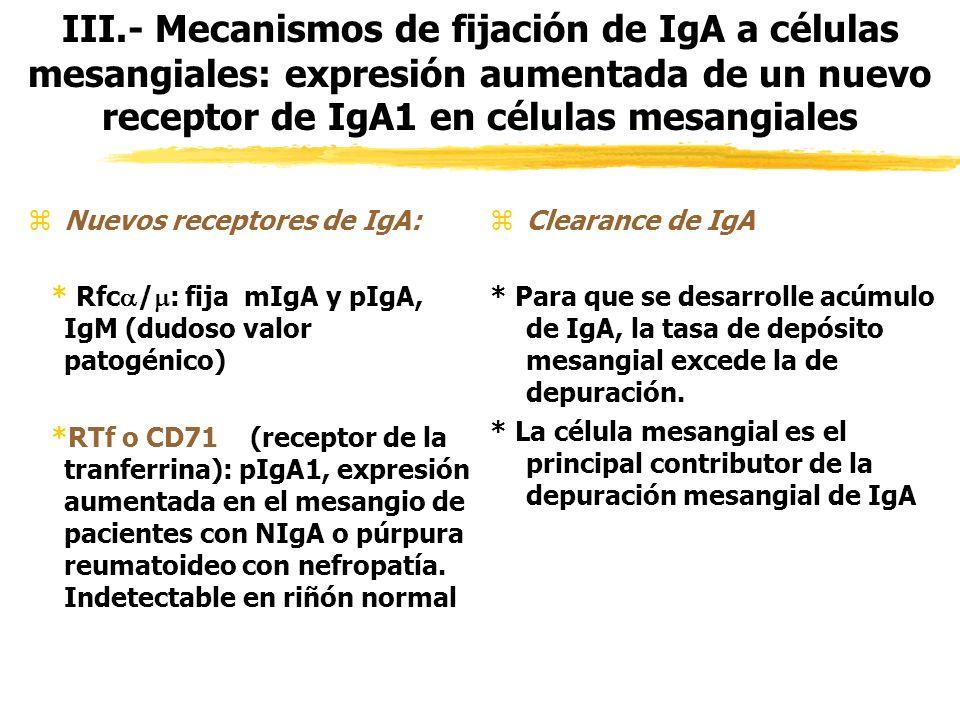III.- Mecanismos de fijación de IgA a células mesangiales: expresión aumentada de un nuevo receptor de IgA1 en células mesangiales
