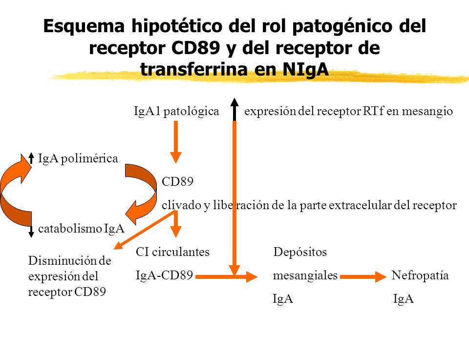 Esquema hipotético del rol patogénico del receptor CD89 y del receptor de transferrina en NIgA