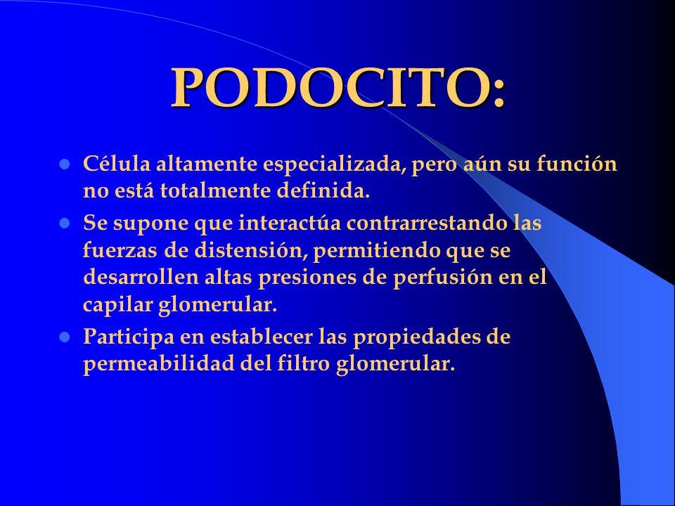 PODOCITO: Célula altamente especializada, pero aún su función no está totalmente definida.