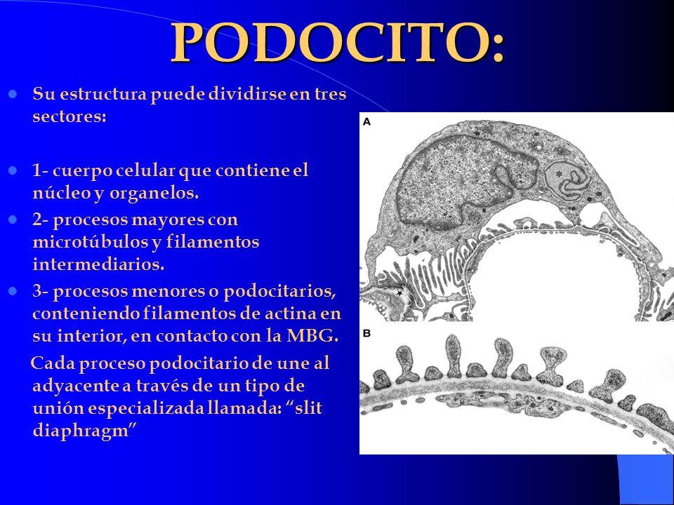 PODOCITO: Su estructura puede dividirse en tres sectores: