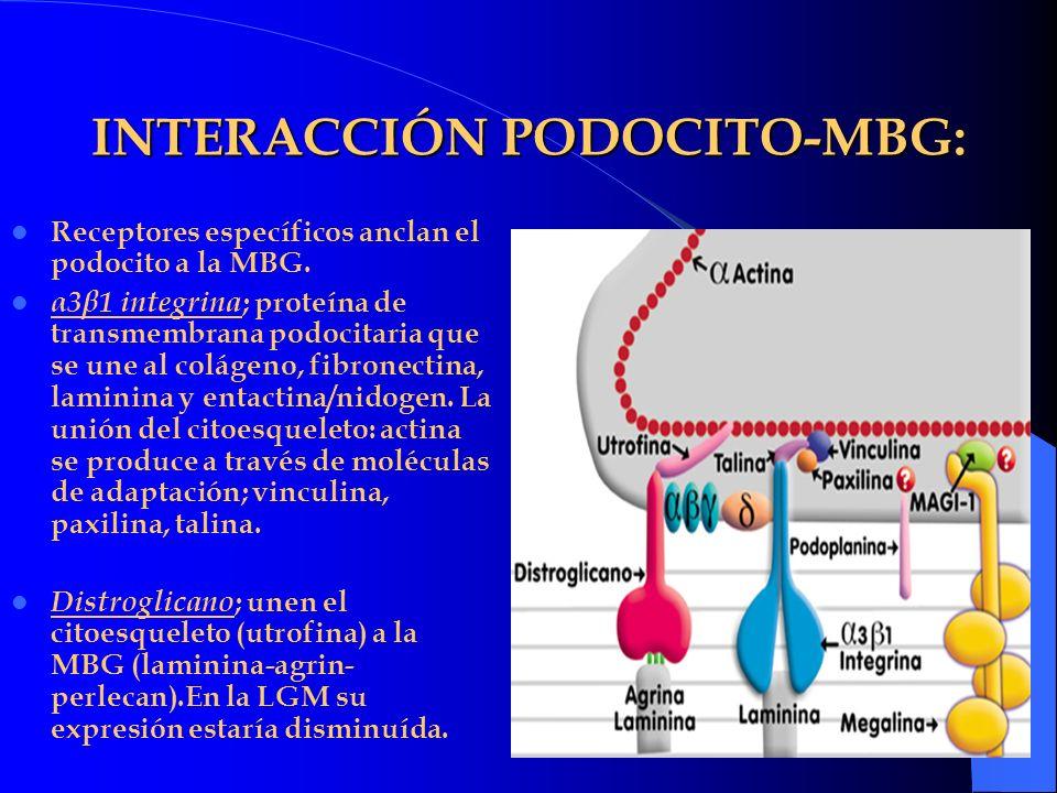 INTERACCIÓN PODOCITO-MBG:
