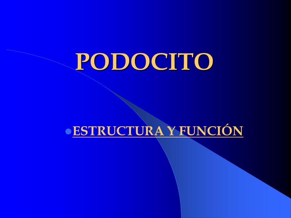 PODOCITO ESTRUCTURA Y FUNCIÓN