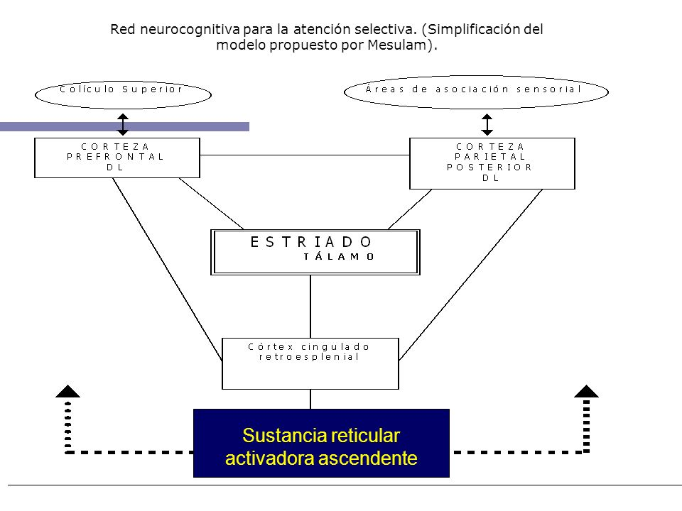 Sustancia reticular activadora ascendente