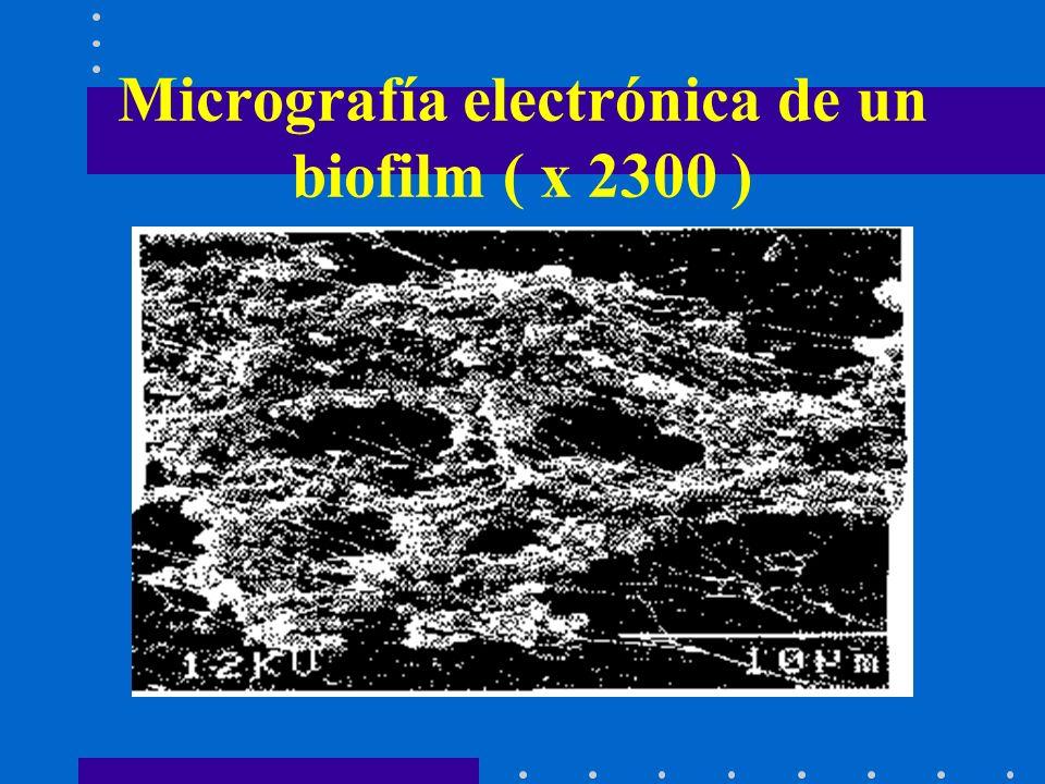 Micrografía electrónica de un biofilm ( x 2300 )