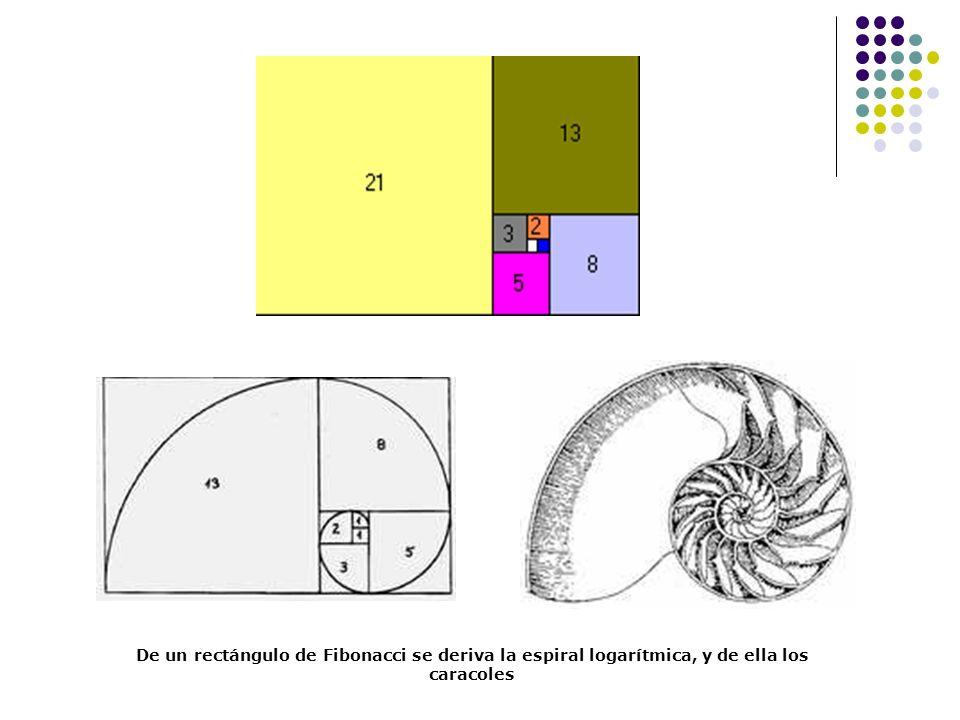 De un rectángulo de Fibonacci se deriva la espiral logarítmica, y de ella los caracoles