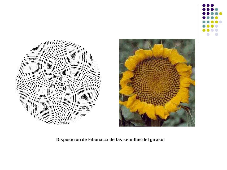 Disposición de Fibonacci de las semillas del girasol