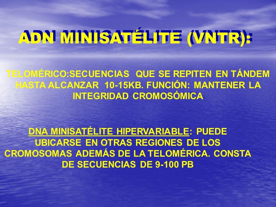 ADN MINISATÉLITE (VNTR):