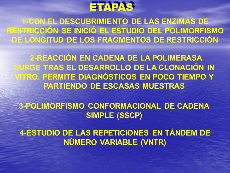ETAPAS 1-CON EL DESCUBRIMIENTO DE LAS ENZIMAS DE RESTRICCIÓN SE INICIÓ EL ESTUDIO DEL POLIMORFISMO DE LONGITUD DE LOS FRAGMENTOS DE RESTRICCIÓN.