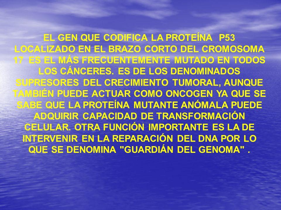 EL GEN QUE CODIFICA LA PROTEÍNA P53 LOCALIZADO EN EL BRAZO CORTO DEL CROMOSOMA 17 ES EL MÁS FRECUENTEMENTE MUTADO EN TODOS LOS CÁNCERES.