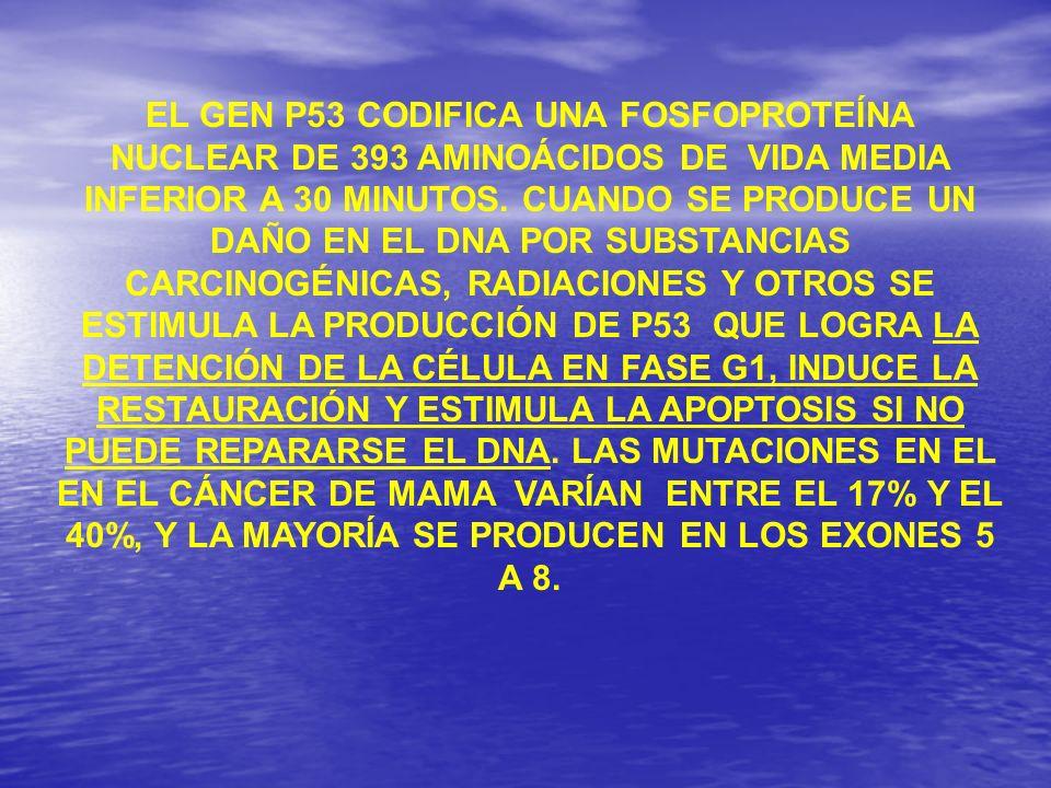 EL GEN P53 CODIFICA UNA FOSFOPROTEÍNA NUCLEAR DE 393 AMINOÁCIDOS DE VIDA MEDIA INFERIOR A 30 MINUTOS.