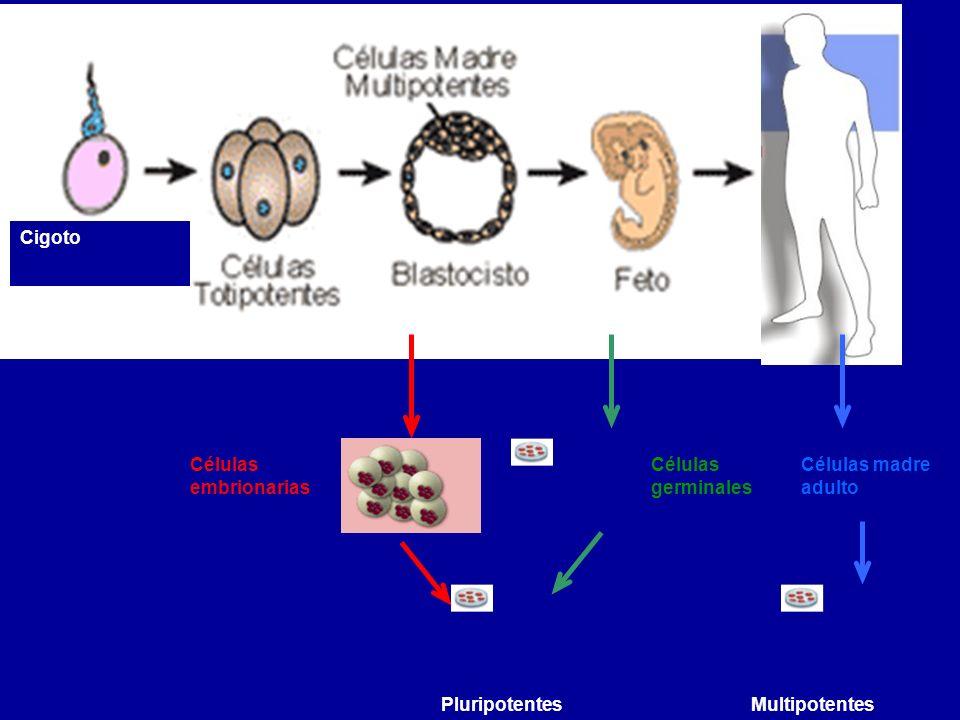 Cigoto Adulto. Células germinales. Células embrionarias.