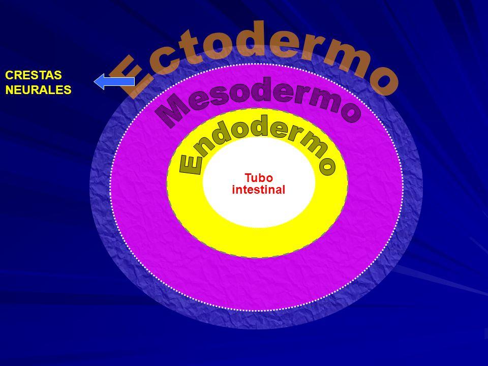 Ectodermo Mesodermo Endodermo Tubo intestinal CRESTAS NEURALES