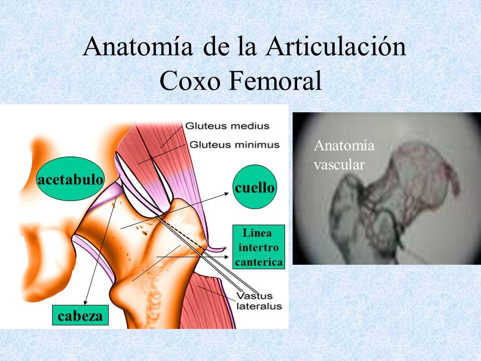 Anatomía de la Articulación Coxo Femoral