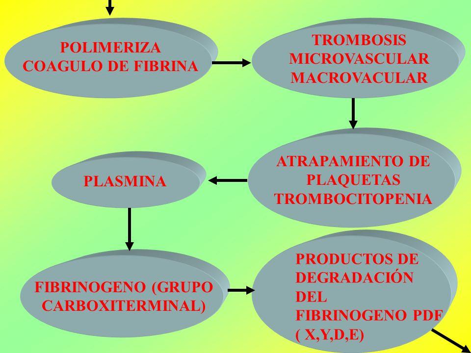 TROMBOSIS MICROVASCULAR MACROVACULAR POLIMERIZA COAGULO DE FIBRINA