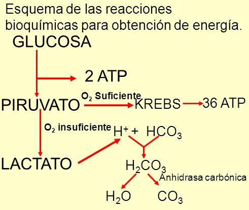 GLUCOSA 2 ATP PIRUVATO LACTATO