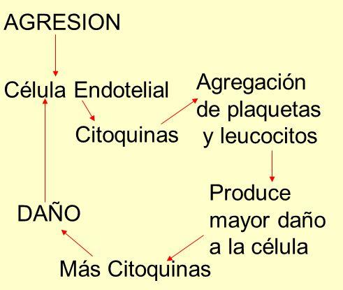 AGRESION Agregación Célula Endotelial de plaquetas y leucocitos