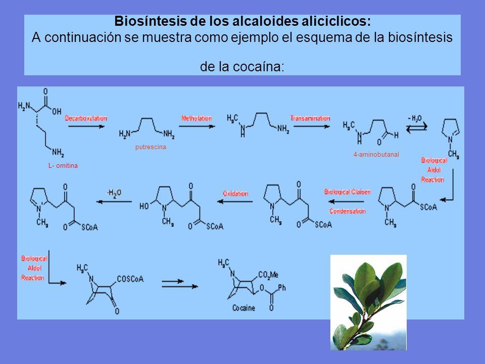 Biosíntesis de los alcaloides aliciclicos: A continuación se muestra como ejemplo el esquema de la biosíntesis de la cocaína: