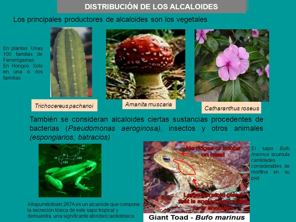 DISTRIBUCIÓN DE LOS ALCALOIDES