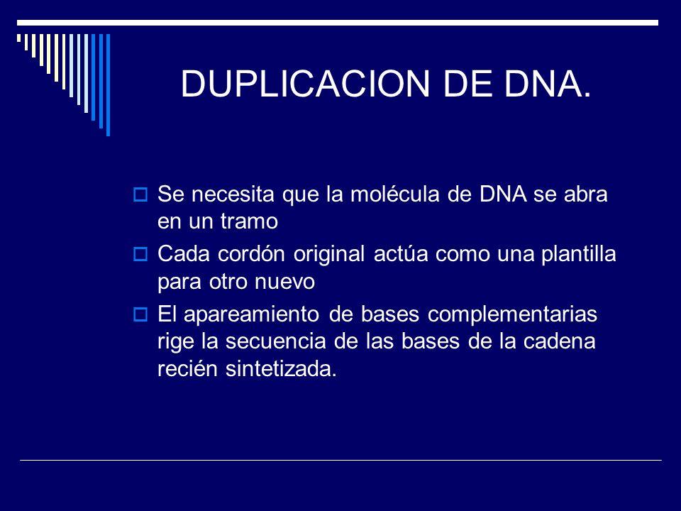 DUPLICACION DE DNA. Se necesita que la molécula de DNA se abra en un tramo. Cada cordón original actúa como una plantilla para otro nuevo.