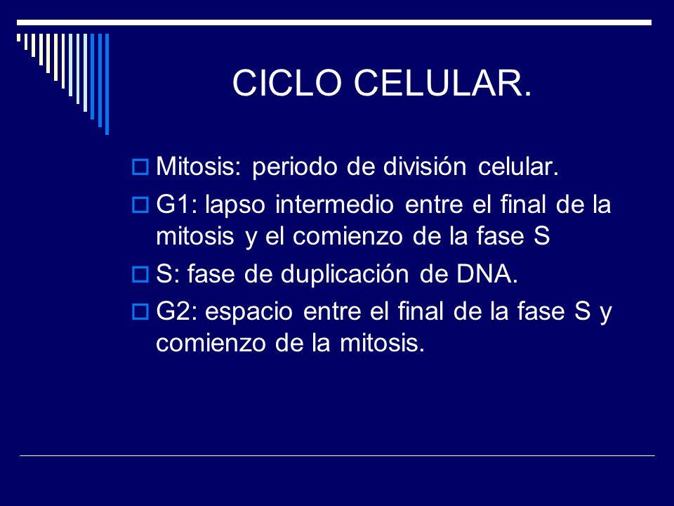 CICLO CELULAR. Mitosis: periodo de división celular.