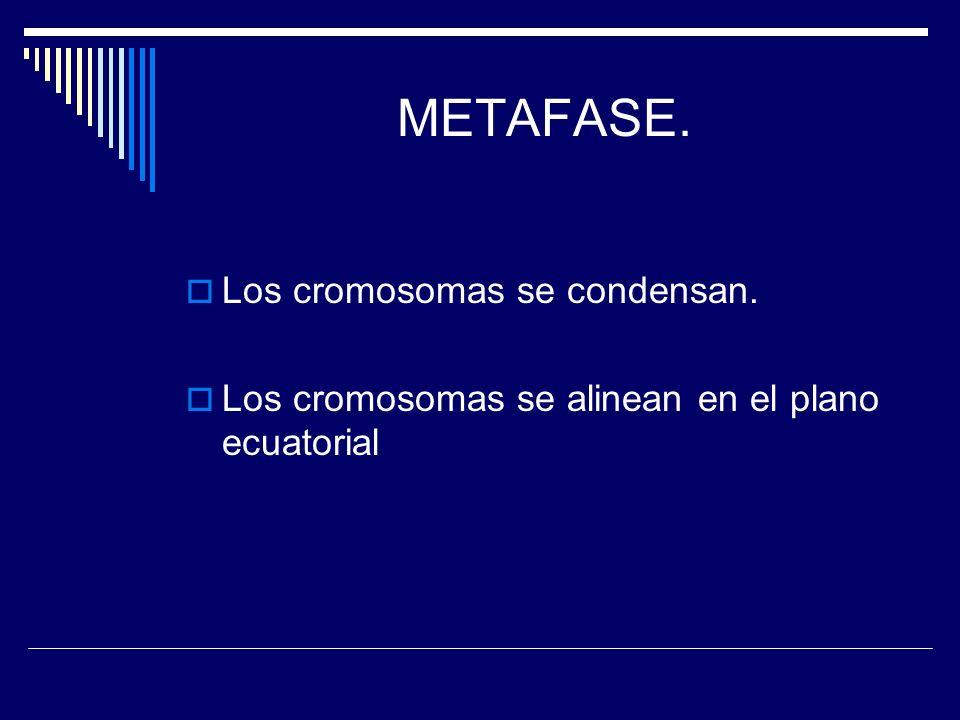 METAFASE. Los cromosomas se condensan.