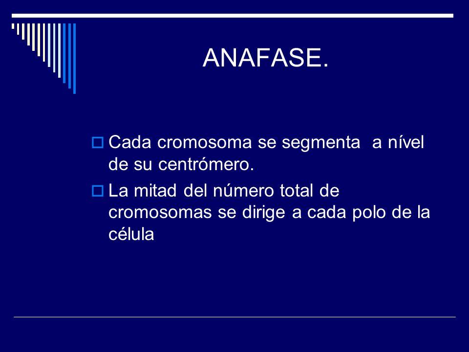 ANAFASE. Cada cromosoma se segmenta a nível de su centrómero.