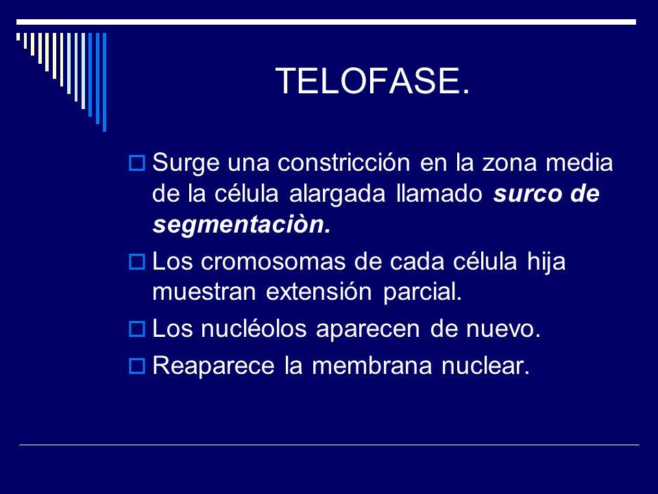 TELOFASE. Surge una constricción en la zona media de la célula alargada llamado surco de segmentaciòn.