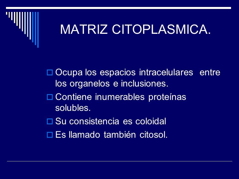 MATRIZ CITOPLASMICA. Ocupa los espacios intracelulares entre los organelos e inclusiones. Contiene inumerables proteínas solubles.