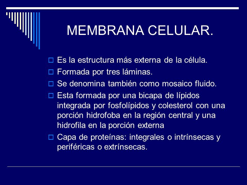 MEMBRANA CELULAR. Es la estructura más externa de la célula.