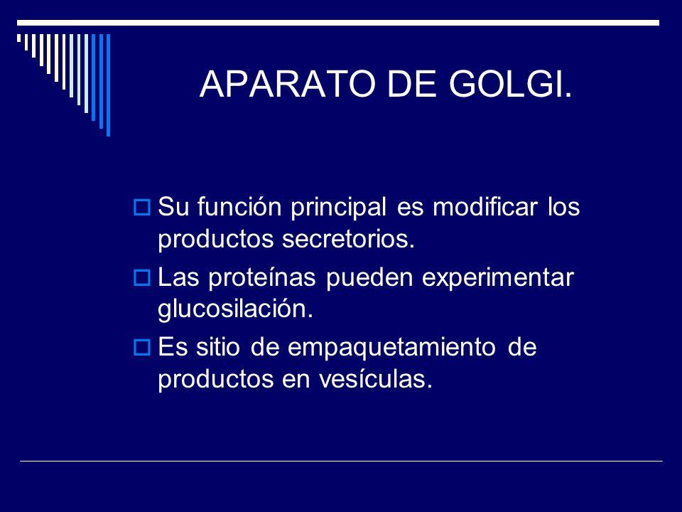 APARATO DE GOLGI. Su función principal es modificar los productos secretorios. Las proteínas pueden experimentar glucosilación.