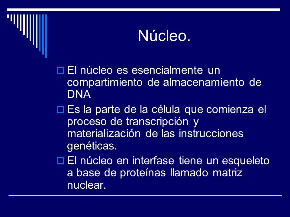 Núcleo.El núcleo es esencialmente un compartimiento de almacenamiento de DNA.