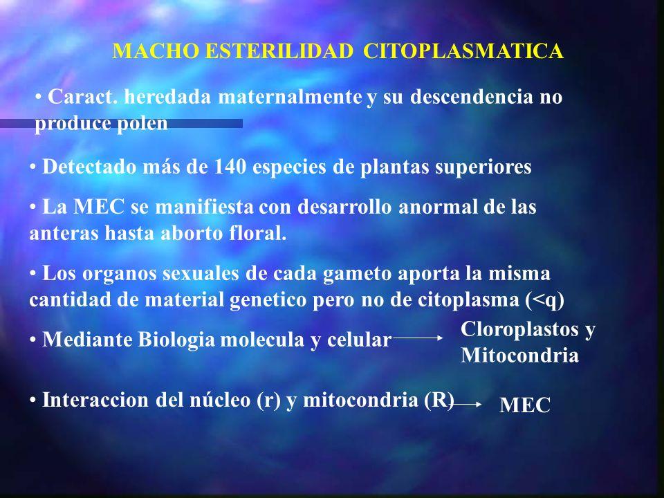 MACHO ESTERILIDAD CITOPLASMATICA