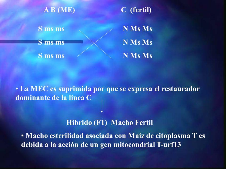 A B (ME) S ms ms. N Ms Ms. C (fertil) La MEC es suprimida por que se expresa el restaurador dominante de la linea C.