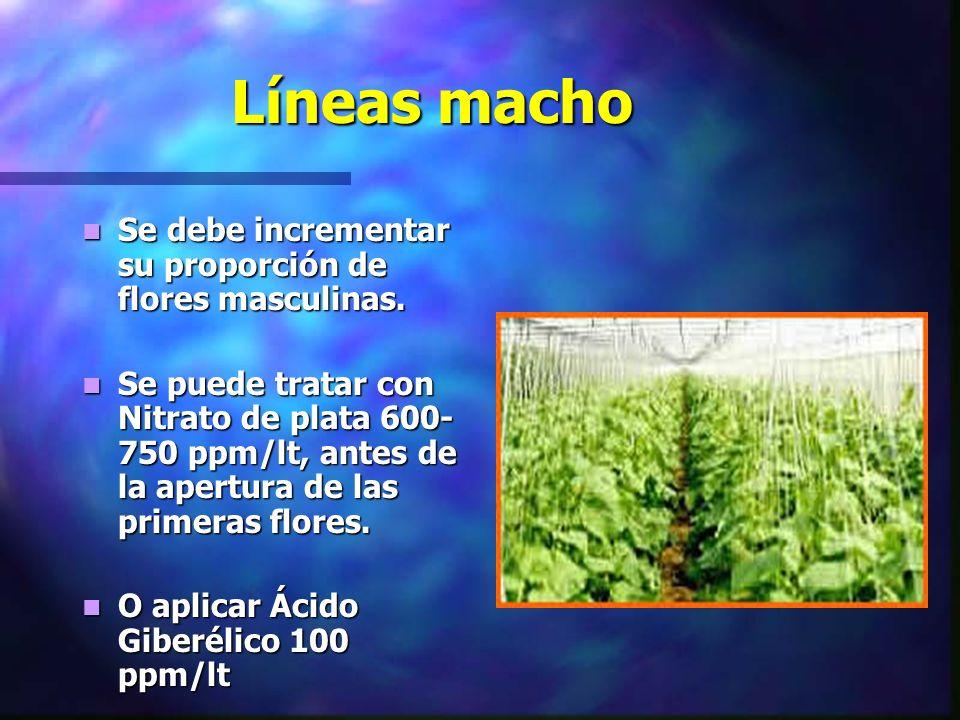 Líneas macho Se debe incrementar su proporción de flores masculinas.