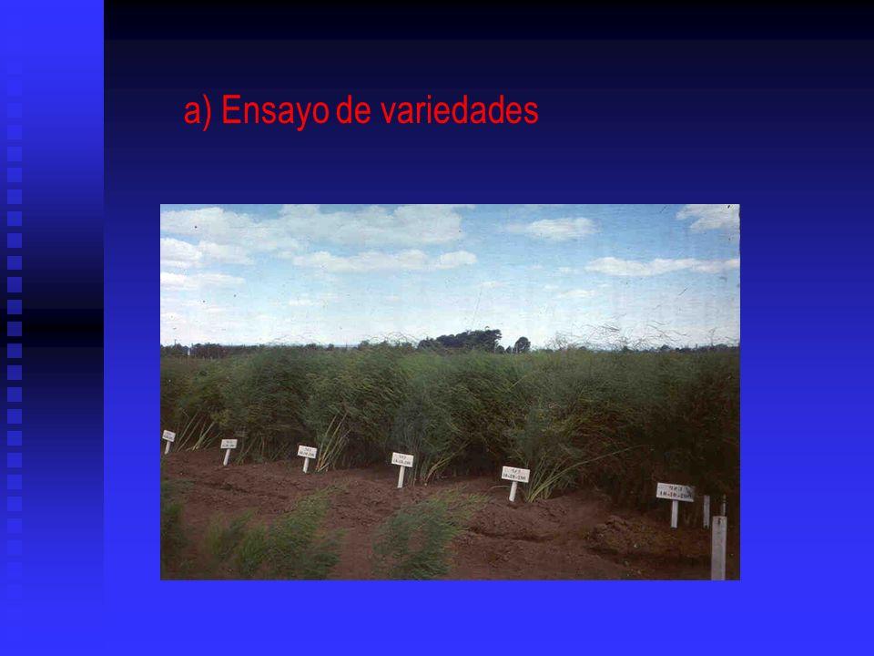 a) Ensayo de variedades