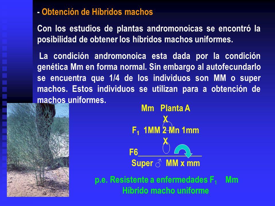 p.e. Resistente a enfermedades F1 Mm Híbrido macho uniforme
