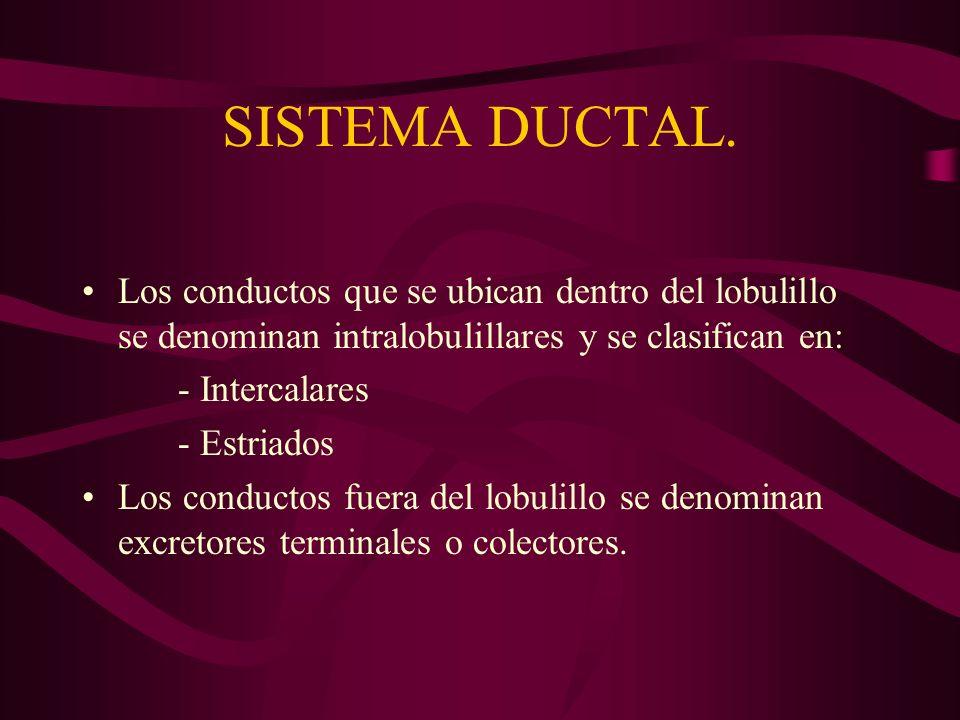 SISTEMA DUCTAL. Los conductos que se ubican dentro del lobulillo se denominan intralobulillares y se clasifican en: