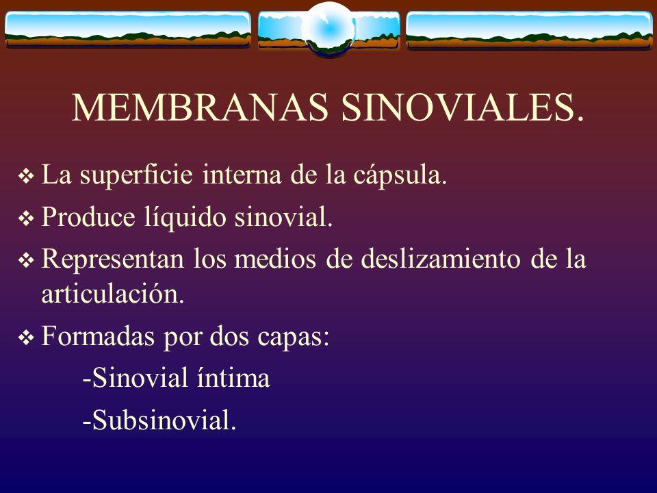 MEMBRANAS SINOVIALES. La superficie interna de la cápsula.